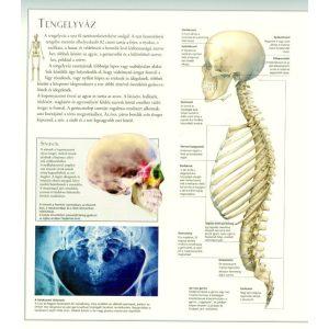Fedezd fel a világot 2. - A kültakaró, a csontok és az izomrendszer - A KÖNYV ENYHÉN SÉRÜLT